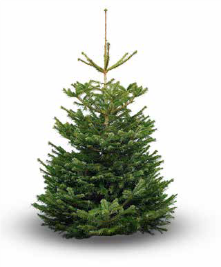 Nordmann Fir Christmas Tree - 6ft